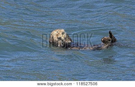 Sea Otter Preening In The Ocean