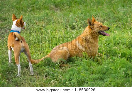 Two dogs watching in spring grass. One is basenji another - half-breed dog