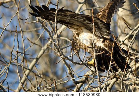 Young Bald Eagle High In A Barren Tree