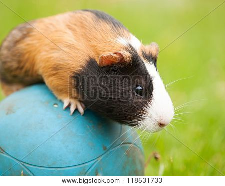 Guinea pig on the ball