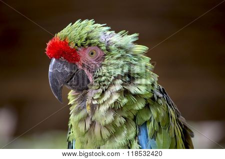 A rough day for this military macaw.