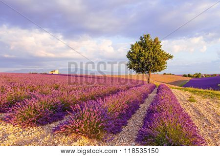Lavender fields with lonely tree near Valensole in Provence France on sunset. Beautiful view on rows and provencal houses. Popular place for traveling and tourists in summer.
