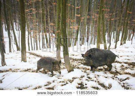 Wild Boars In Muddy Snow