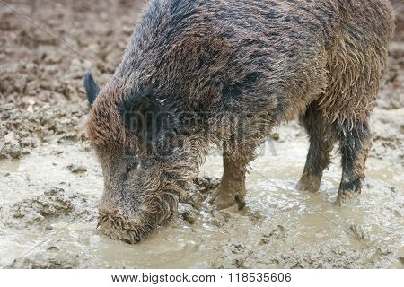 Wild Hog Digging Mud