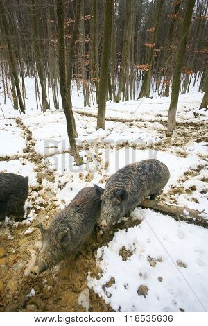 Wild Hogs In Muddy Forest