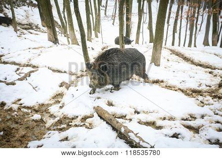 Wild Boar Walking In Woods