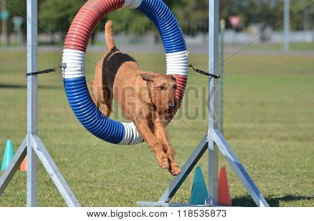 Irish Terrier At Dog Agility Trial
