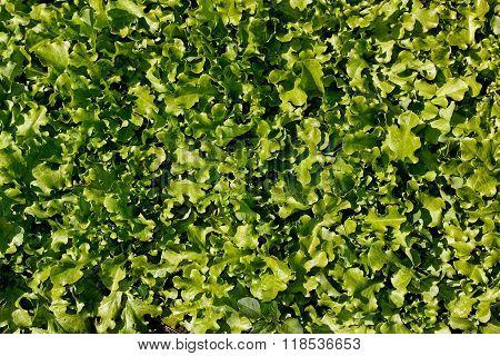 Freshness Green Lettuce Salad