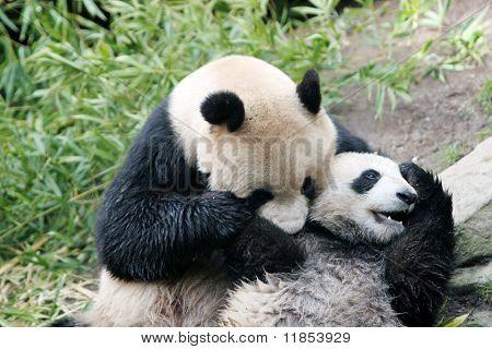 Panda bear and her cub