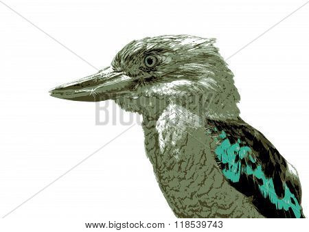 Kookaburra  Dacelo Novaeguineae
