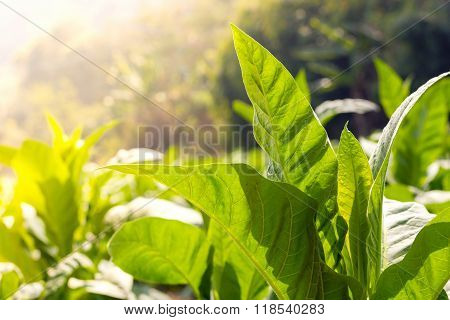 Green Leaf Tobacco  Close Up Anda Blurred Tobacco Field Background