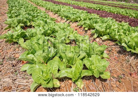 Organic Hydroponic Vegetable Cultivation Farm With Water Sprinkler Spaying Water At Countryside