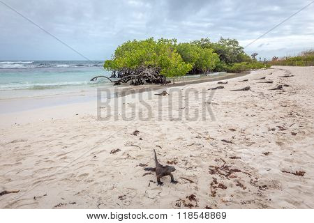 iguanas relaxing by the beach in santa cruz galapagos islands