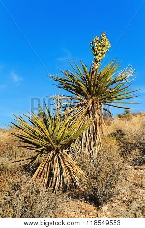 Blooming Yucca Plant, Nevada