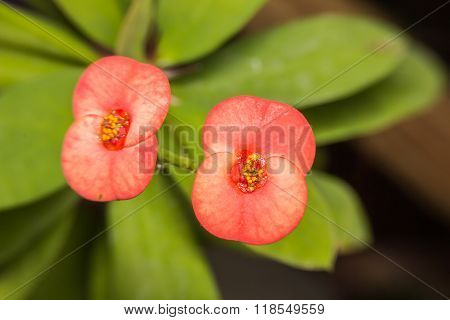 Closeup On Tiny Vivid Red Color Euphorbia Milii Des Moul Flower