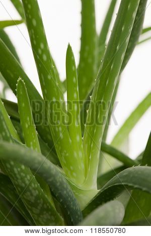 Green Fresh Aloe Vera Leafs Of A Growing Aloe Vera Plant Isolated Over White Background.