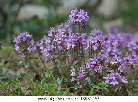 Thyme_close-up