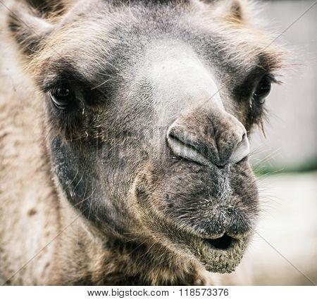 Bactrian Camel - Camelus Bactrianus - Humorous Closeup Portrait