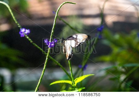 Black And White Butterfly On Purple Flower