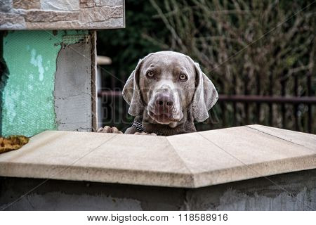Purebred Weimaraner Dog Outdoors, Weimaraner Dog Looking Behind Wall,