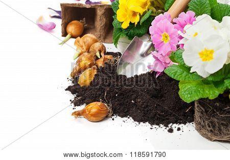 Primulas, Bulbs, Gardening, Spring Flowers