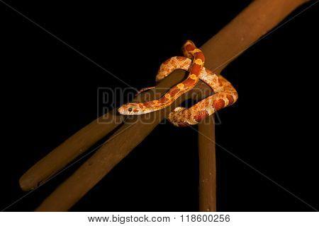 Elaphe Guttata (corn Snake)