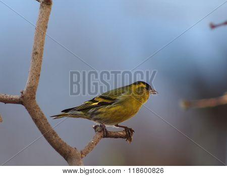 Bird Siskin