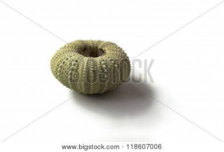 Sea shell urchin