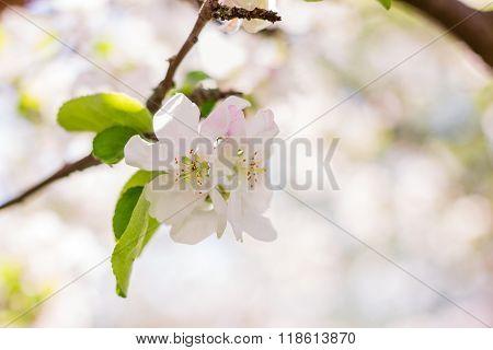 Apple Tree Blossom On Defocused Background
