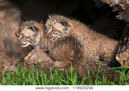 Bobcat Kittens (lynx Rufus) Look Left