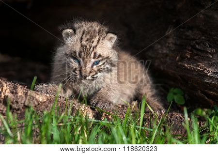 Baby Bobcat Kit (lynx Rufus) Fierce Stare