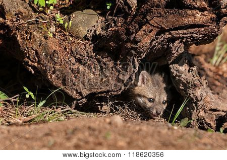 Grey Fox Kit (urocyon Cinereoargenteus) Peeks Out From Under Log
