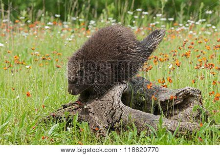 Porcupine (erethizon Dorsatum) Sniffs