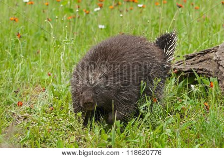 Porcupine (erethizon Dorsatum) Waddles Forward