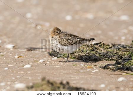 Dunlin, Calidris Alpina, Standing On The Beach, Resting