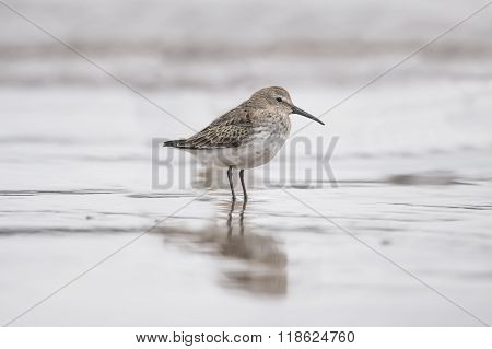Dunlin, Calidris Alpina, Standing On The Shoreline