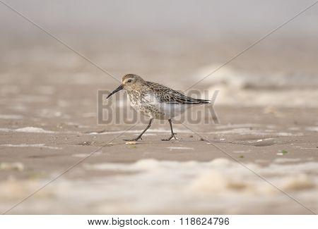Dunlin, Calidris Alpina, Walking On The Beach