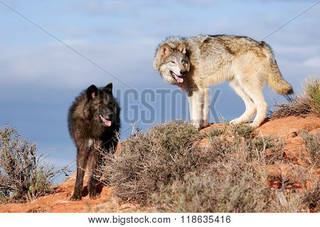 Gray Wolves (canis Lupus)