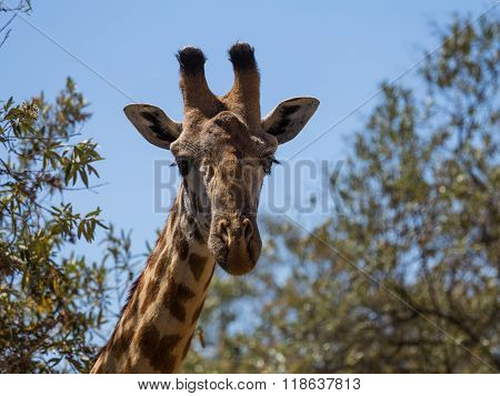 The Forehead Of A Rothschild's Giraffe