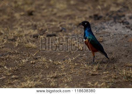 A Superb Starling Standing On The Ground