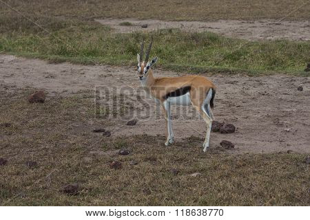 A Young Thomson's Gazelle
