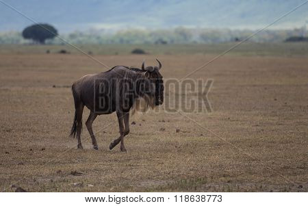 A Blue Wildebeest