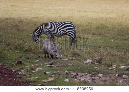 A Warthog And Zebra Grazing