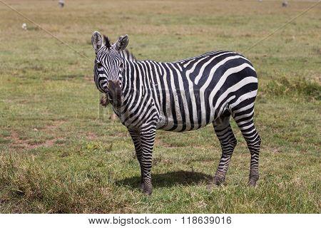 A Burchell's Zebra Grazing