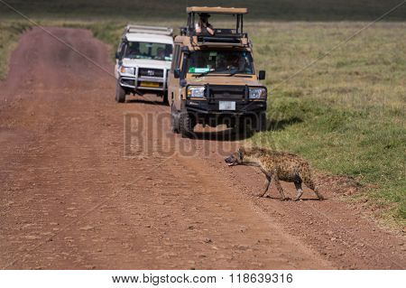 A Spottet Hyena Crossing The Road