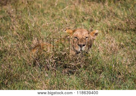 A Lioness Waiting In The High Grass