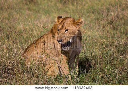 A Lioness Sitting In The High Grass