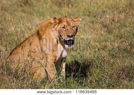 A Lioness Sweating In The High Grass