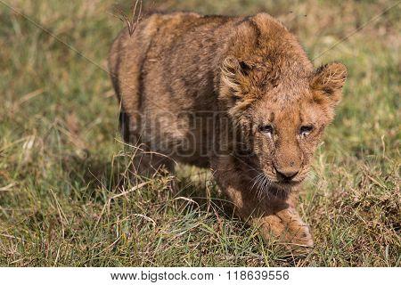 A Lion Kitten On Adventures