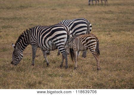 Zebra Baby Diking